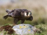 Immature Peregrine Falcon  Captive  United Kingdom  Europe