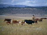 Cowboy Rounding Up Cattle  Diamond Ranch  New Mexico  United States of America  North America