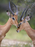Impala  Males Allogrooming  Kruger National Park  Mpumalanga  South Africa