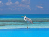 Blue Heron Standing in Water  Maldives  Indian Ocean