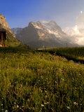 Spring Alpine Flower Meadow and Mountains  Grindelwald  Bern  Switzerland  Europe