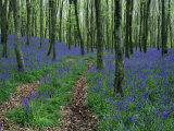 Deciduous Woodland with Bluebells in Spring  Near Beaminster  Dorset  England  United Kingdom