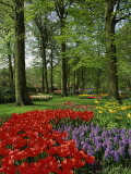Tulips and Hyacinths in the Keukenhof Gardens at Lisse  the Netherlands  Europe