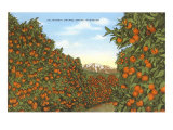 California Orange Grove in Winter