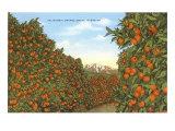 California Orange Grove in Winter