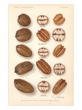 Varieties of Pecan and Walnut