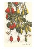 Cashew Plants  Trinidad