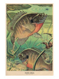 Blue Gill Eying Bug