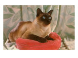 Siamese Cat on Pillow