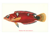 Hawaiian Fish Julis Greenovii