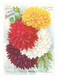 Seed Packet  Dahlias