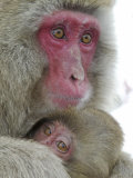 Baby Snow Monkey Clinging to Mother  Jigokudani Monkey Park  Japan