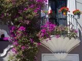 Bouganvilla Blooming  San Miguel De Allende  Guanajuato State  Mexico