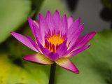 Single Magenta Water Lily  Lake Gardens Park  Kuala Lumpur  Malaysia