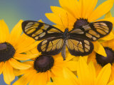 The Spotted Amerwing Butterfly on Flowers