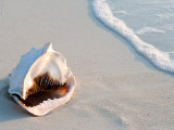 Conch Shell At Sunset  St Martin  Caribbean