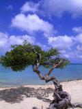 Lone Divi Tree  Aruba  Caribbean