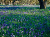 Field of Camas and Oak Trees  Salem  Oregon  USA