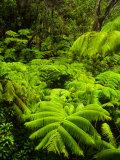 Lush tropical greenery in Hawaii Volcanoes National Park  Big Island  Hawaii