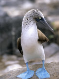 Blue-Footed Booby  Isla Espaola  Galapagos Islands  Ecuador