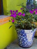 Bouganvilla in a Ceramic Pot  San Miguel De Allende  Guanajuato State  Mexico