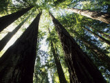 Old Redwood Trees  Muir Woods  California  USA