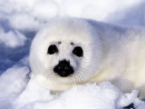 Harp Seal Pup  Gulf of St Lawrence  Quebec  Canada