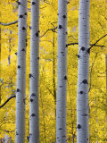 Autumn Aspen Stand  Yankee Boy Basin  Colorado  USA