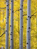 Autumn Aspen Stand  Yankee Boy Basin  Colorado  USA