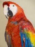 Colorful Macaw Bird  Chichicastenango  Guatemala