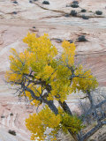 Autumn Cottonwood Tree  Zion National Park  Utah  USA