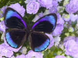 The Midnight Blue Butterfly from Peru