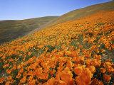 California Poppies  Tehachapi Mountains  California  USA