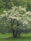 Flowering Dogwood  Blue Ridge Parkway  Virginia  USA