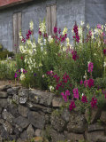 Lupine Flowers  Grand-Ilet    Cirque de Salazie  Reunion Island  France