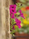 Petunia Flowers on Wall  Tuscany  Italy