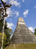 National Tree Called Kapok  Mayan Ruins  Tikal  Guatemala