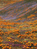 Owl's Clover and Globe Gilia  California Poppies  Tehachapi Mountains  California  USA