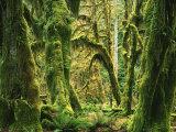 Moss covered Bigleaf Maples  Hoh Rain Forest  Olympic National Park  Washington  USA