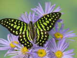 The Tailed Jay Butterfly on Flowers