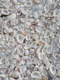 Sanibel Seashells  Sanibel Island  Florida  USA