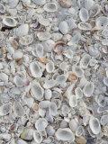 Sanibel Seashells  Sanibel Island  Florida  USA