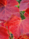 Pinot Noir Red Leaves  Willamette Valley  Oregon  USA
