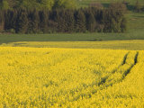 Mustard field by Grosbous  Sure River Valley  Luxembourg