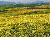 Canola fields in bloom  Spokane County  Washington  USA