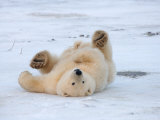 Polar Bear Cub Rolling Around  Arctic National Wildlife Refuge  Alaska  USA