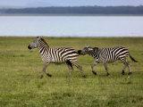 Burchell's Zebra fighting  Lake Nakuru National Park  Kenya