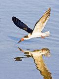 Black Skimmer Fishing on Laguna Madre  South Padre Island  Texas  USA