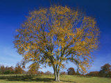 American Elm  Texas County  Missouri  USA