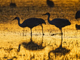 Sandhill Cranes wading  Bosque del Apache National Wildlife Refuge  Socorro  New Mexico  USA